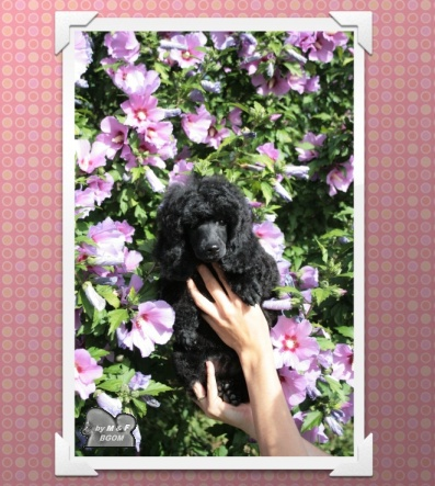 caniche nain gris a vendre et caniches nains moyens caniche noir caniches c der poodles for. Black Bedroom Furniture Sets. Home Design Ideas